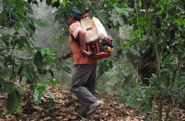 Llaman a intensificar acciones contra la roya del café en Oaxaca (14:37 h)