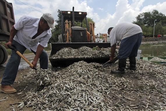 CNDH inicia investigación sobre la laguna en Jalisco por 53 toneladas de peces muertos (18:21 h)