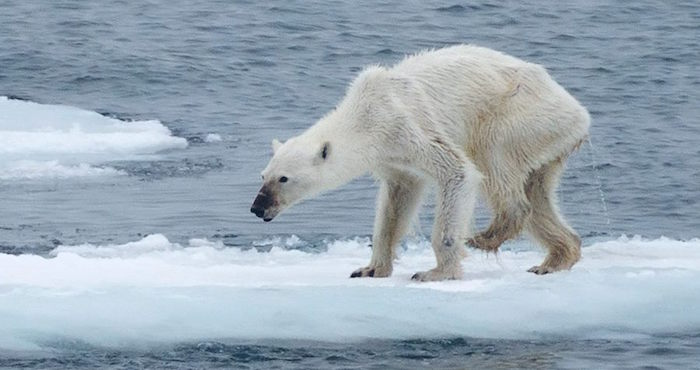 Osa polar con desnutrición por el calentamiento global causa conmoción en redes (15:00 h)