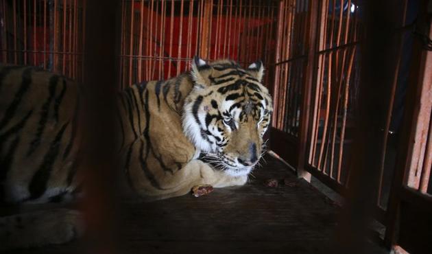 Alistan santuario para grandes felinos, elefantes y osos de circos (11:43 h)