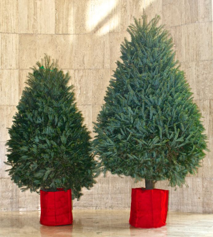 La nueva tendencia rboles de Navidad en maceta 1200 h ADN