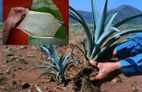 agave piel